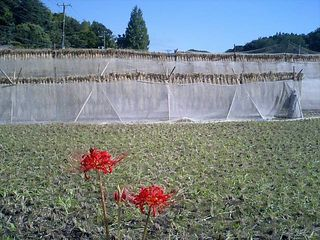 Rice drying on a harvested paddy, higanbana in foreground