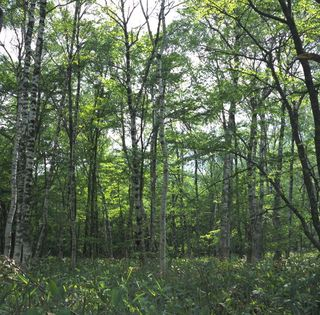 Forest in Kamikochi (Photo: Joi Ito, Wikimedia Commons)