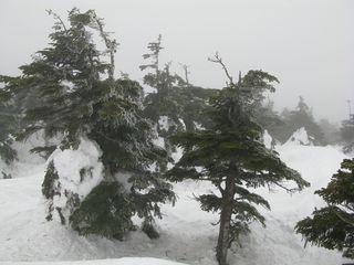 Zao ice trees victim of global warming?