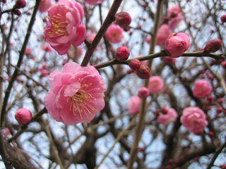 Plum blossom (Photo: M)
