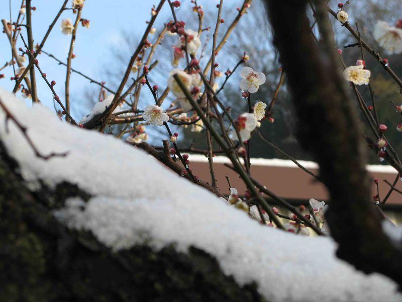 Plum & snow