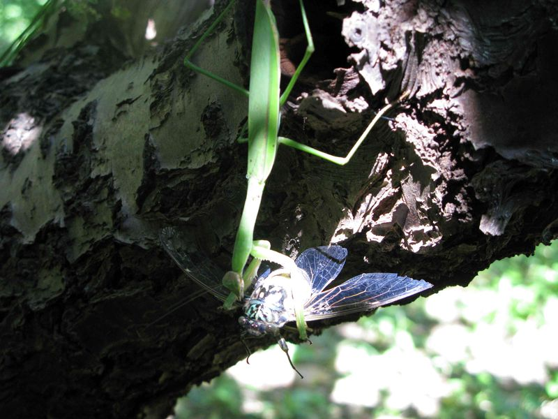 Mantis > cicada