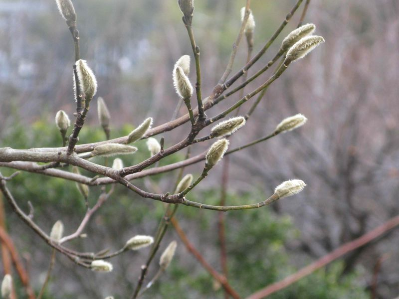 Magnolia buds january 2012