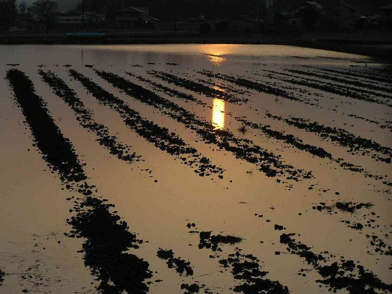 Paddy fields at dusk