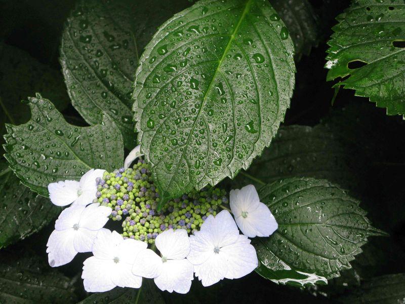 Rain on hydrangea