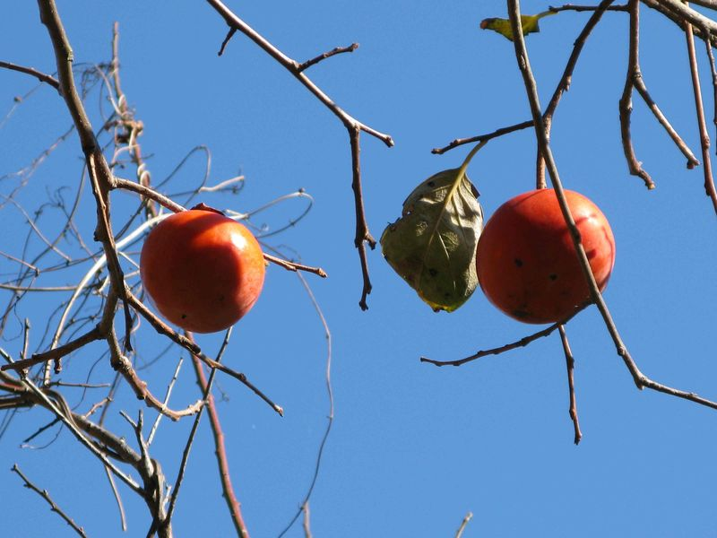 Persimmons in autumn