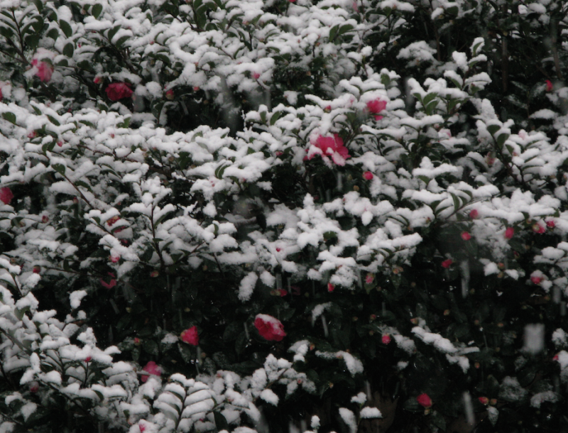 Snow falls on camellias