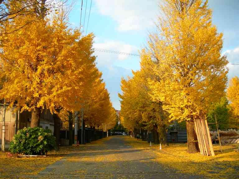 Ginkgo-trees-Uji-kousakusho_02
