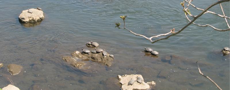 Kanamegawa River turtles
