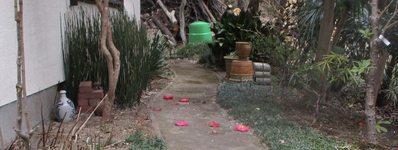 Camellias on the path