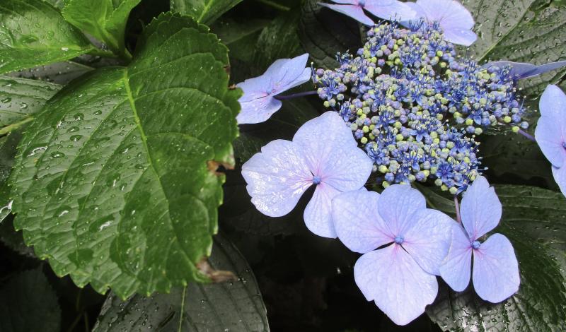 hydrangea rain
