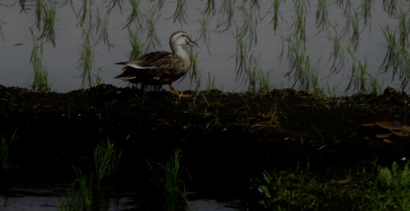 Dusk duck