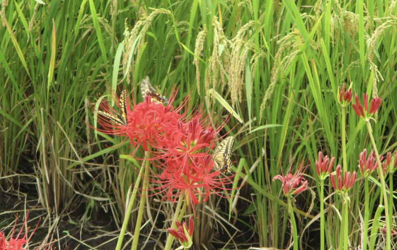 Spider lilies butterflies