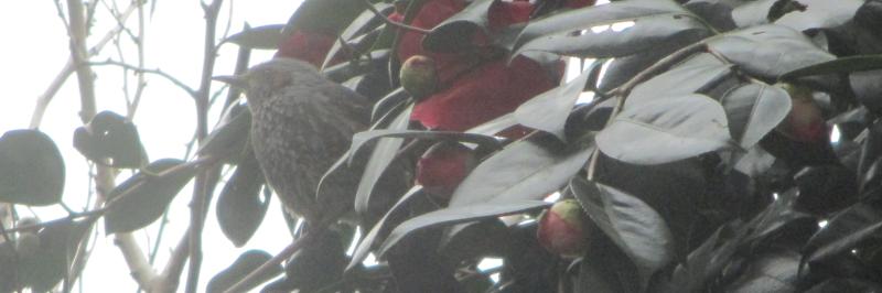 Bulbul and camellia