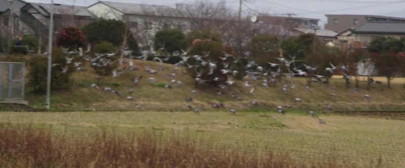 Pigeons 2
