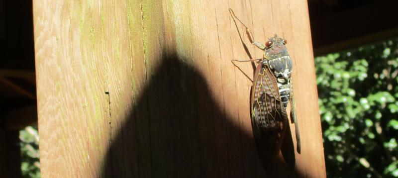 Cicada blast of summer