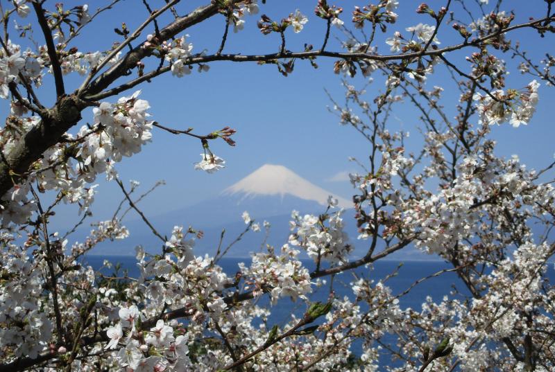 Fuji blossom over Suruga