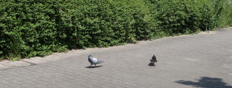Strolling pigeons
