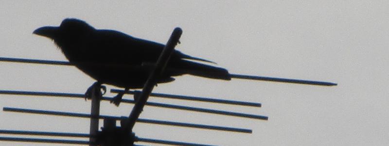 Strident crow