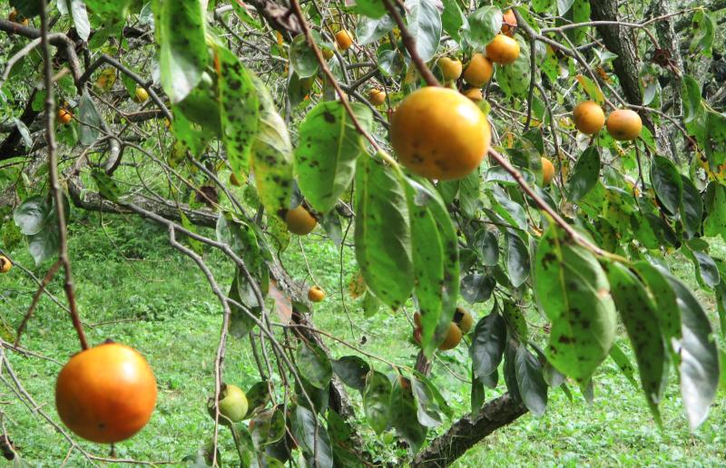 Ripening orange fruit