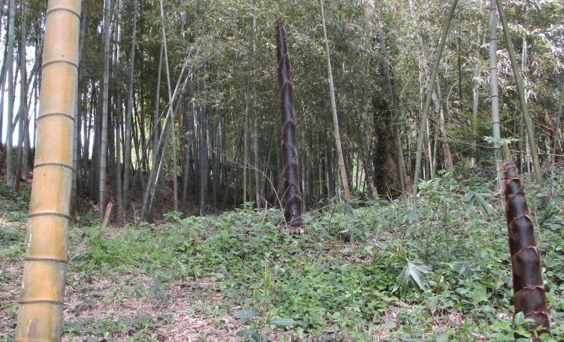 Bamboos shoots grow