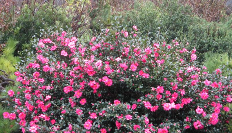 Suddenly camellias