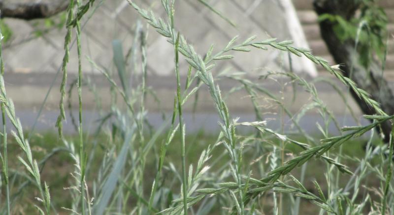 Grass Basho Li Bai