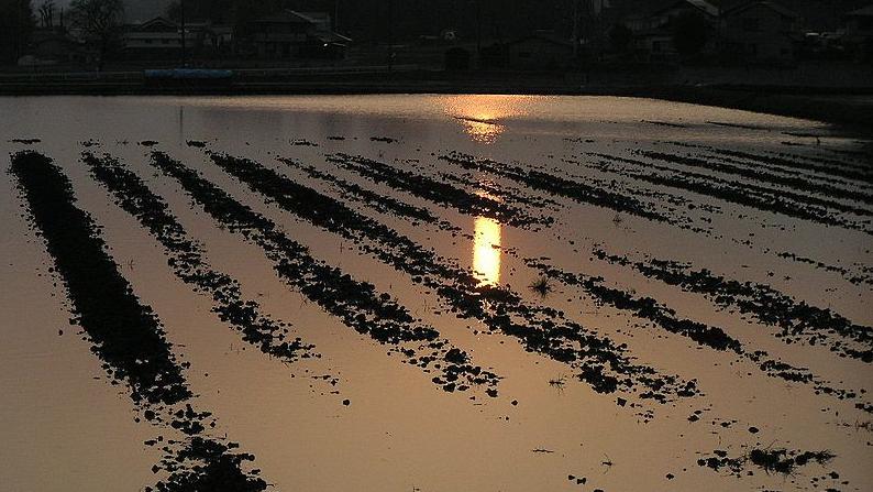 Bright flooded paddies