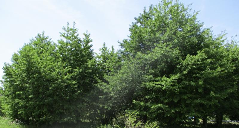 Gingko grove