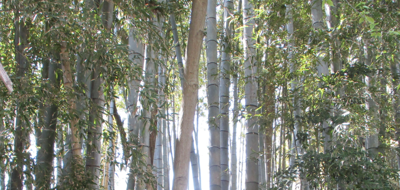 Bamboo groves are silent