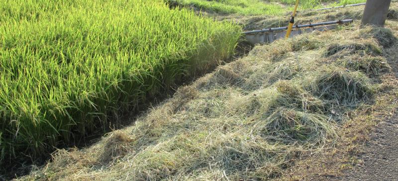 Shearing paddy banks #2